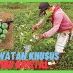 Tanah kavling murah kebun buah di purwakarta